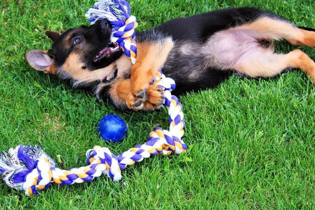 5-week-old-german-shepherd-puppies