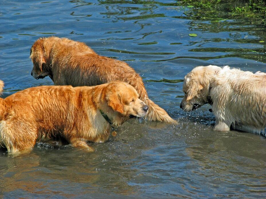breeding-golden-retrievers