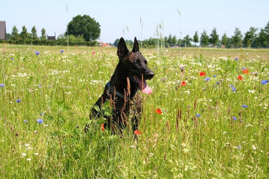 dutch-shepherd