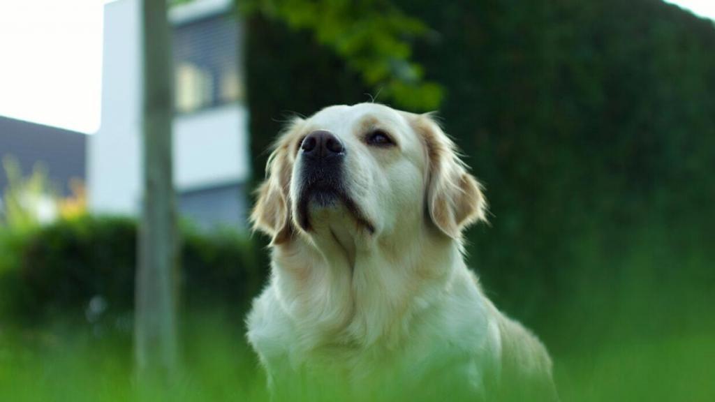 golden-retriever-barking