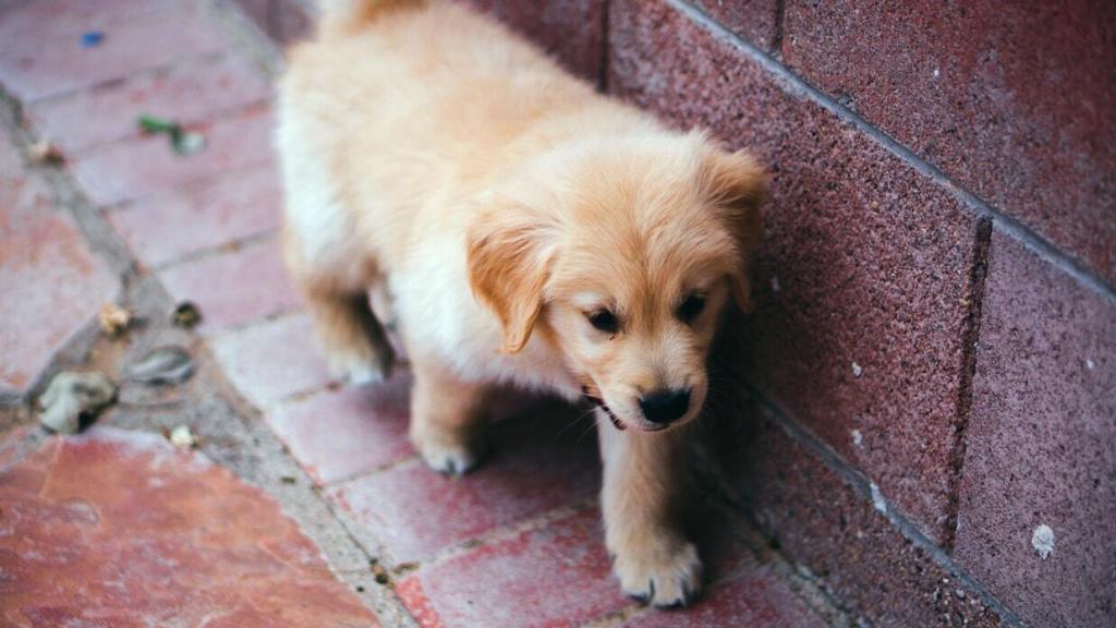 golden-retriever-puppies 01