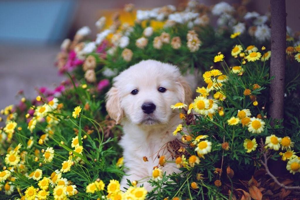 golden-retriever-puppies 02