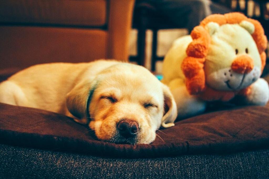 golden-retriever-sleeping