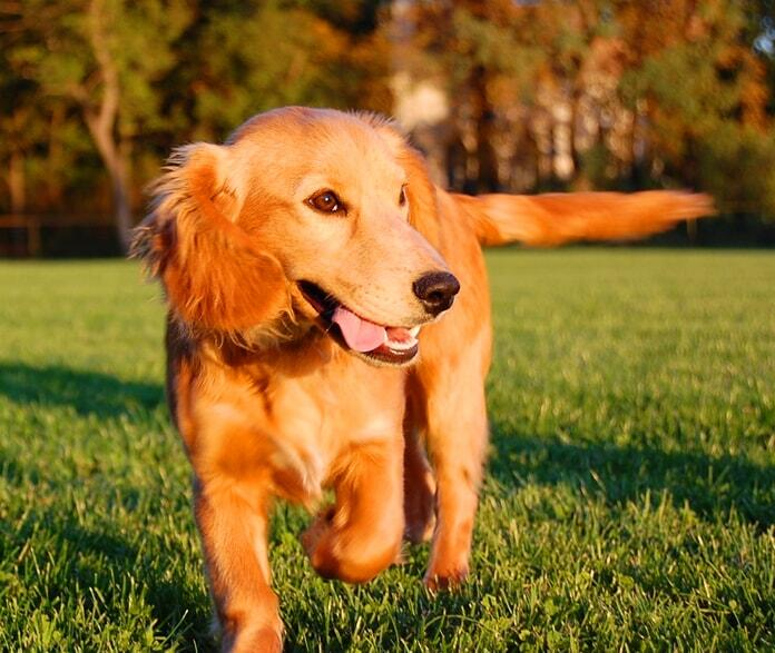 golden-retriever-summer-cut