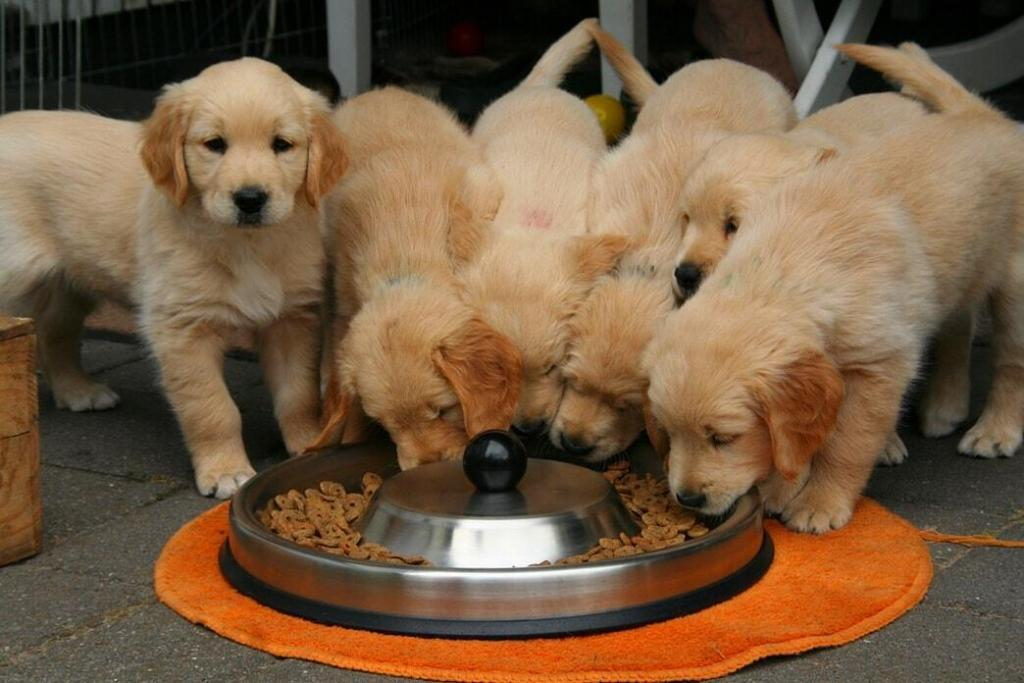 how-much-to-feed-a-golden-retriever-puppy