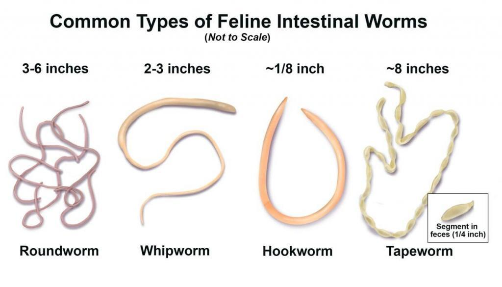 how-to-tell-if-a-cat-has-worms 01