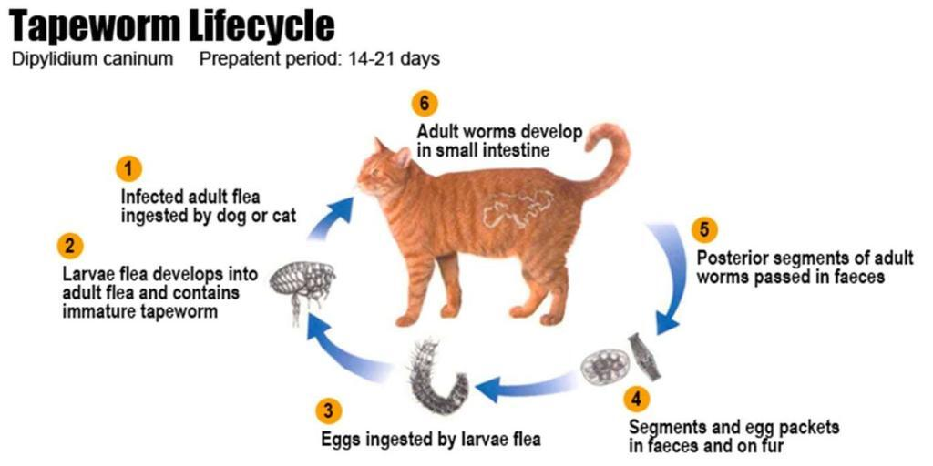 how-to-tell-if-a-cat-has-worms 02