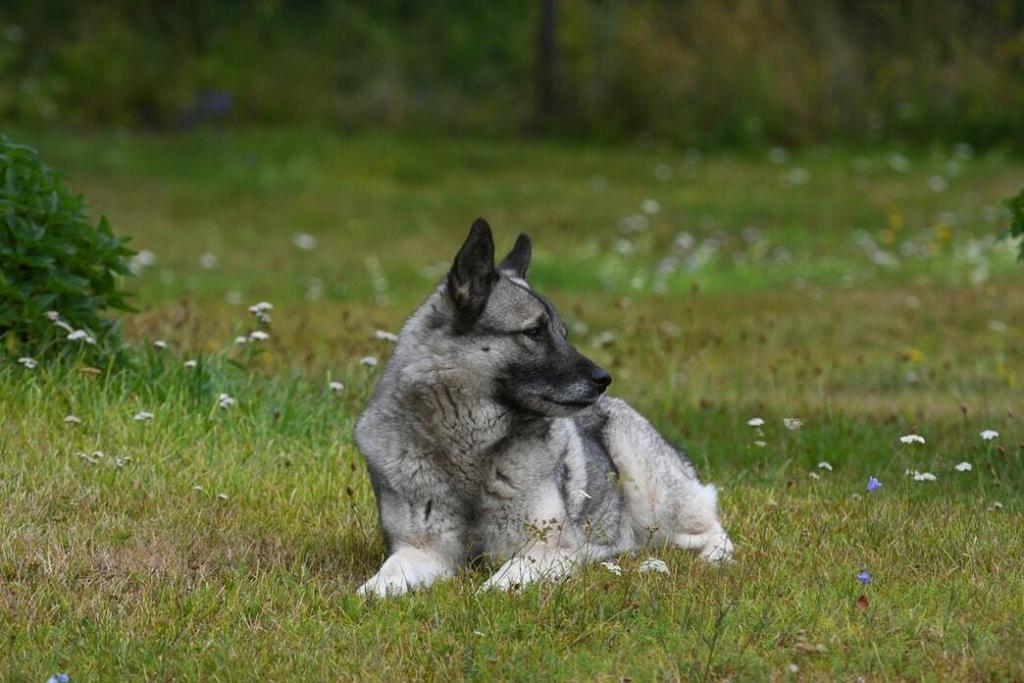 norwegian-elkhound