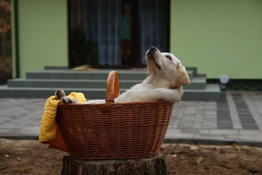 potty-training-a-lab-puppy