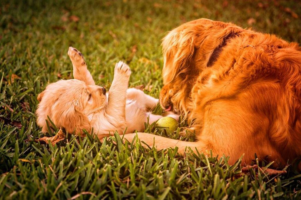 3-months-old-golden-retriever