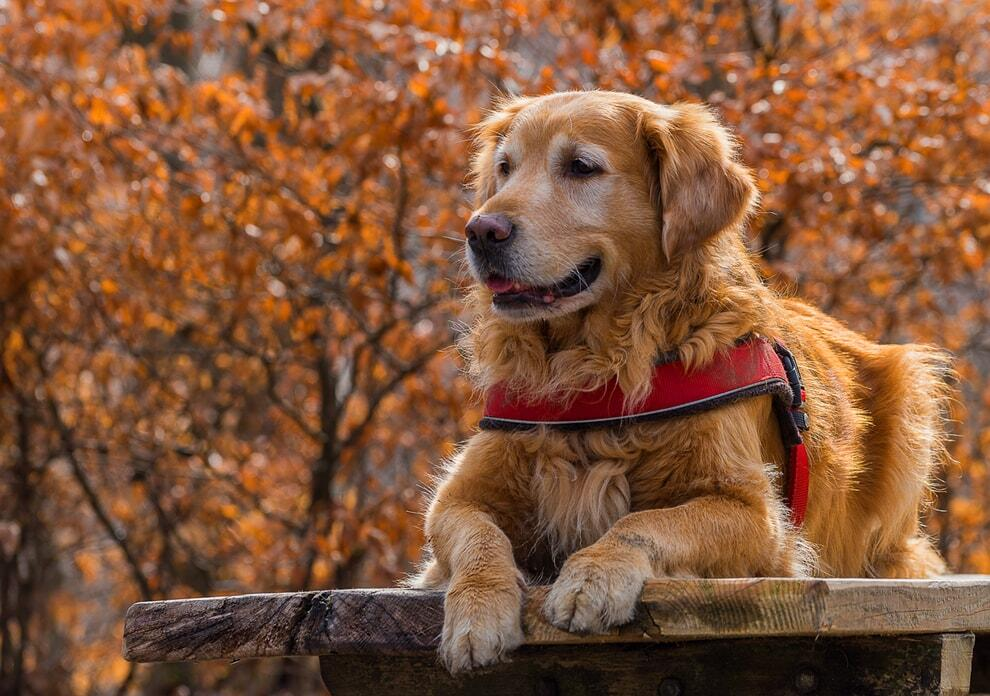 are-golden-retrievers-good-guard-dogs
