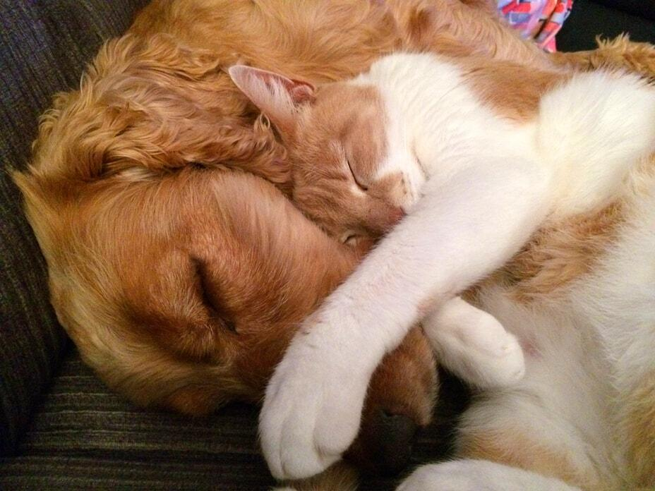 golden-retriever-and-cat