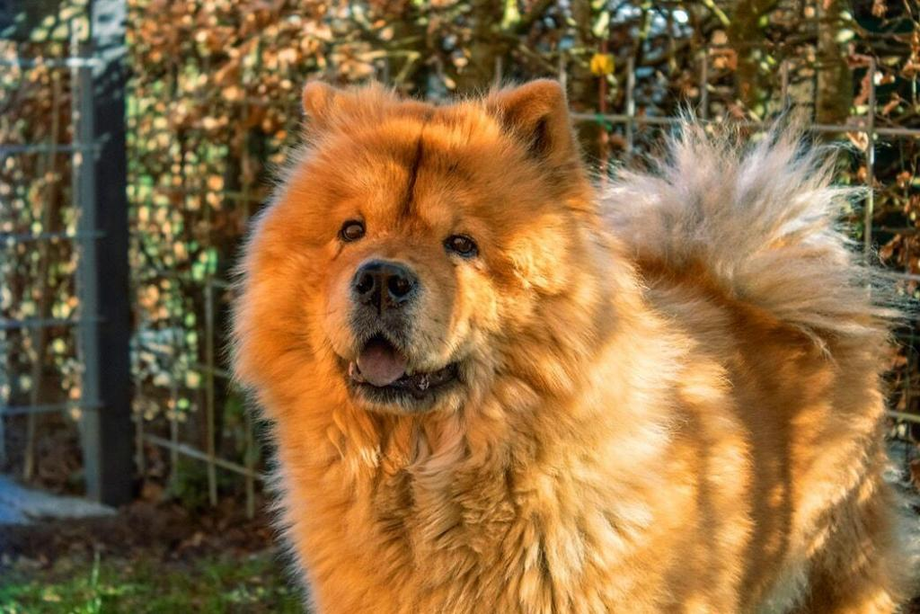 Things No One Told You About Golden Retriever Chow Mix Petvblog
