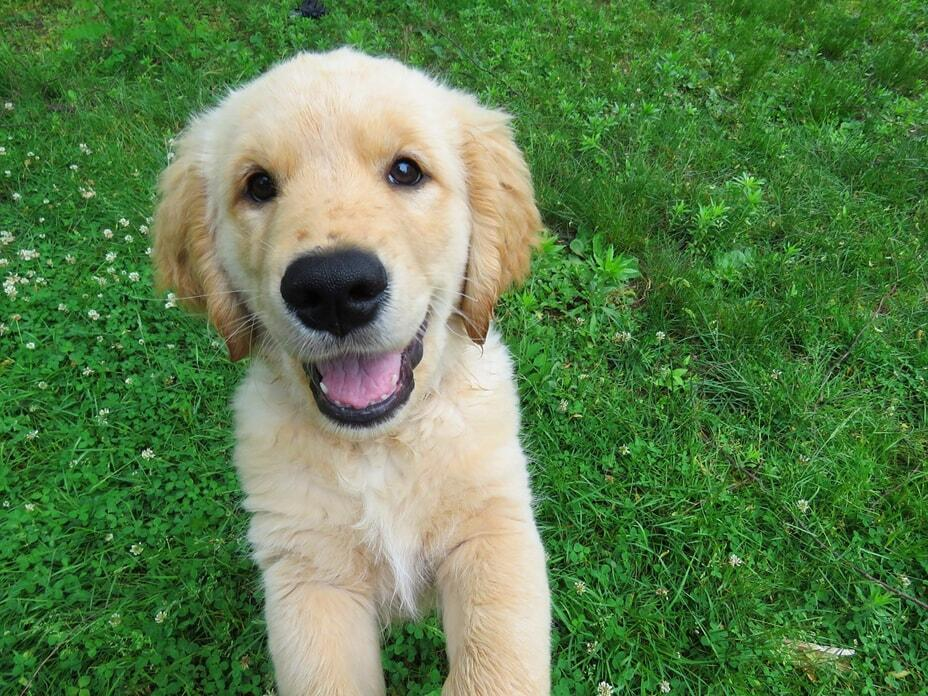 purebred-golden-retriever-cost