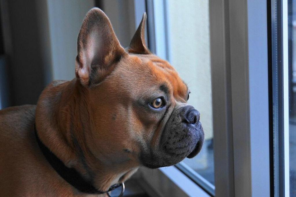 french-bulldog 01