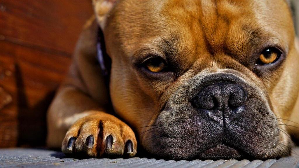 french-bulldog 03