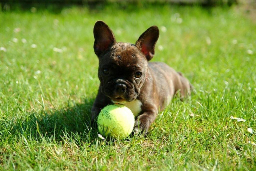 french-bulldog 04