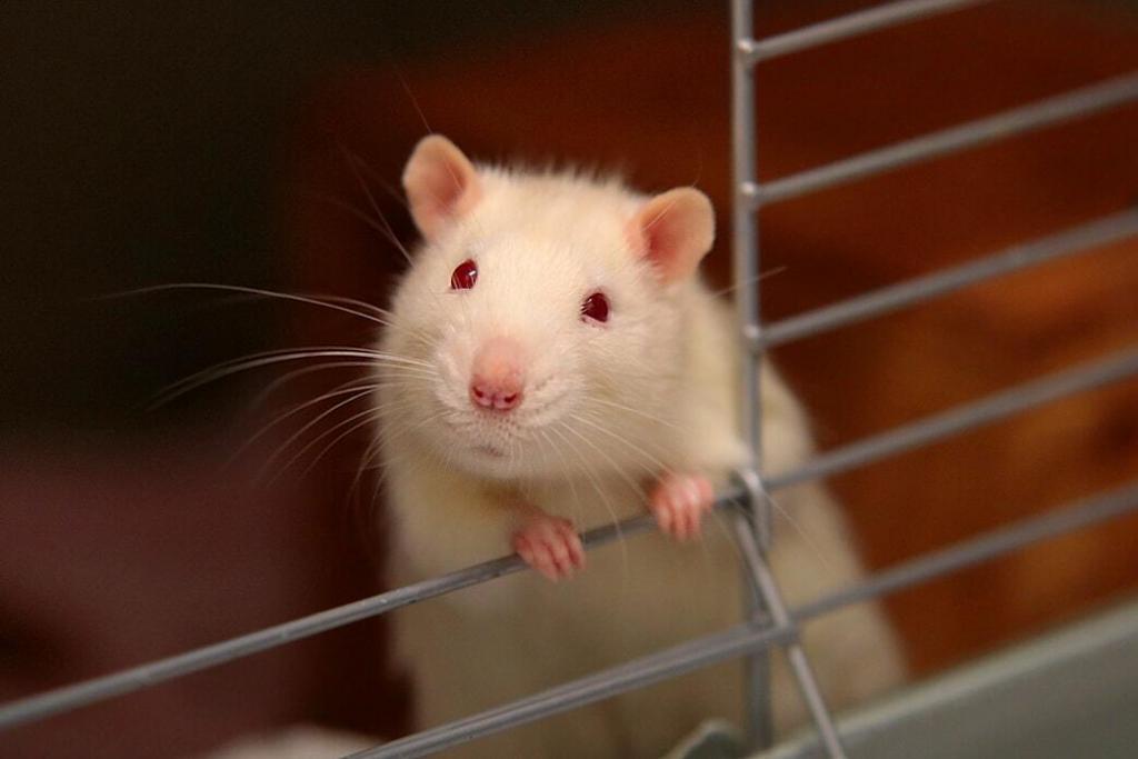 pet-rats 01