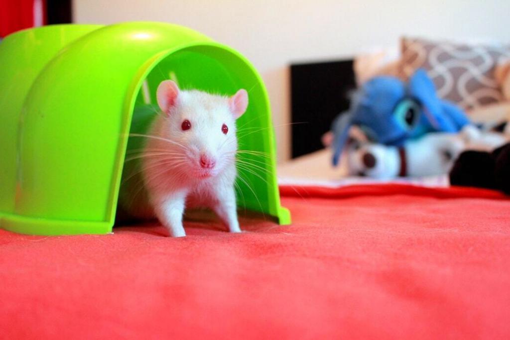 pet-rats 04