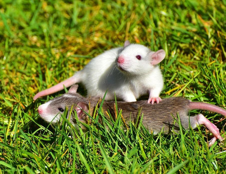 pet-rats 06