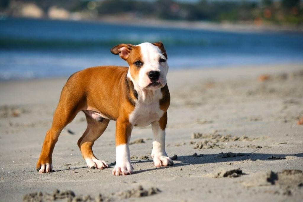 american-pitbull-puppy-weight