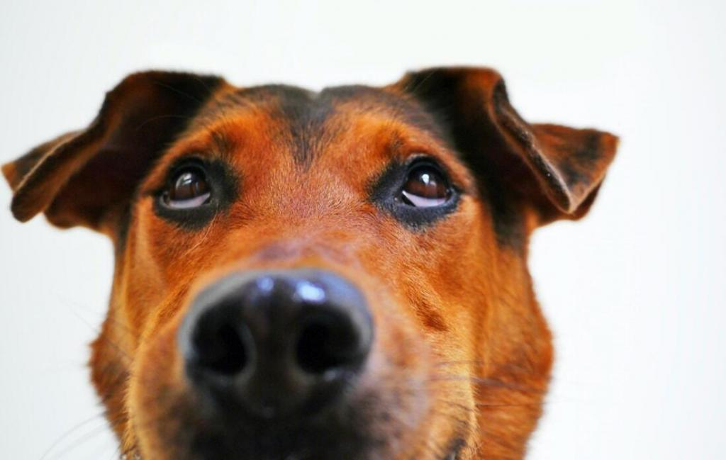 german-shepherd-floppy-ears