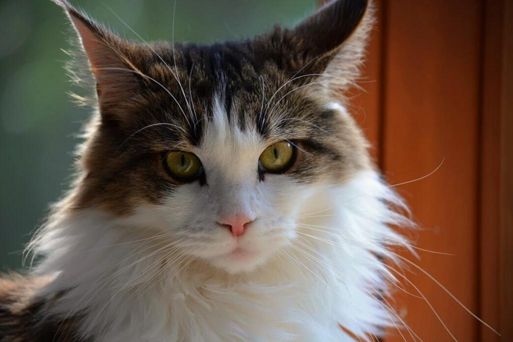 maine-coon 02