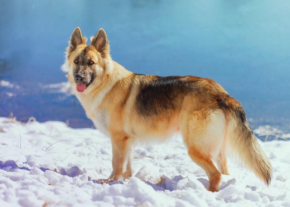 types-of-german-shepherds