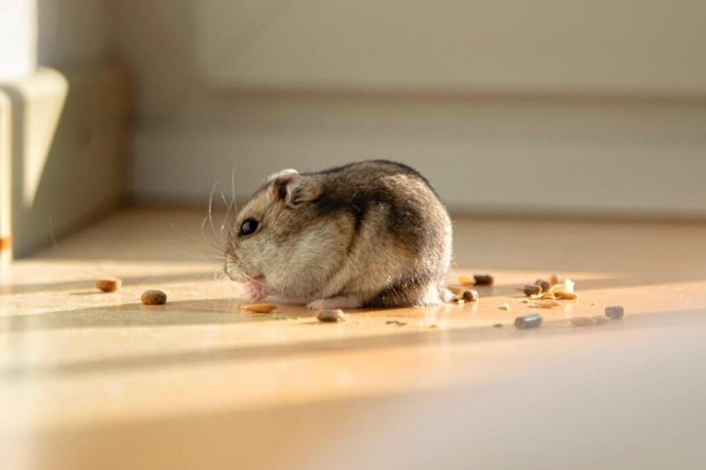 lifespan-of-a-pet-rat