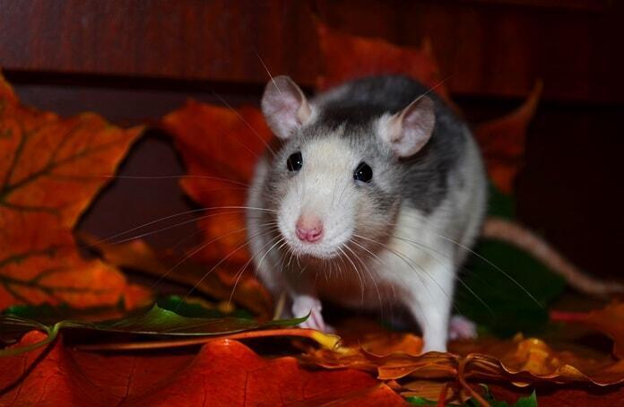 pet-rat-suddenly-aggressive