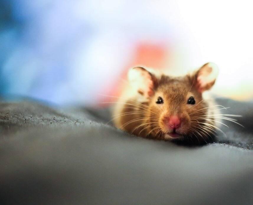 potty-training-pet-rats