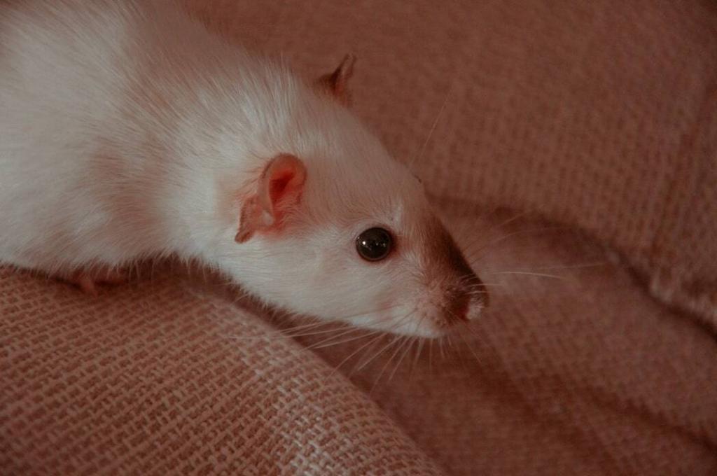 rat-squeak