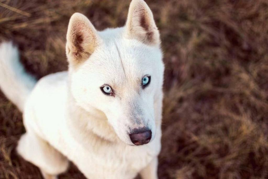 german-shepherd-husky-mix 06