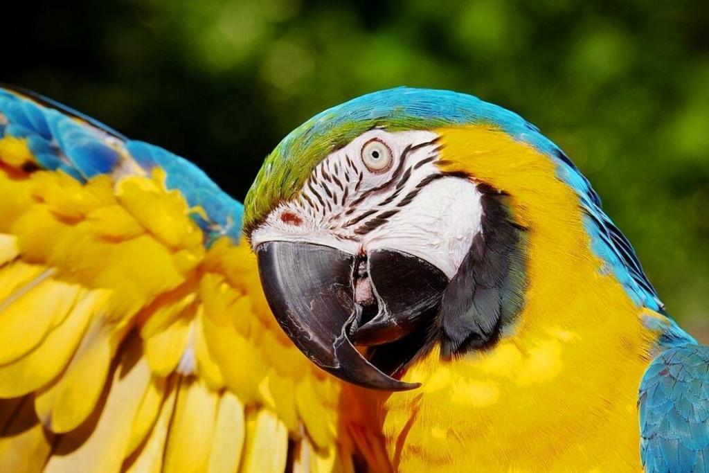 parrots-molting