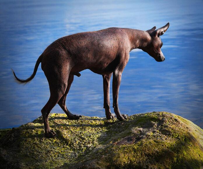 sebaceous-adenoma-dogs