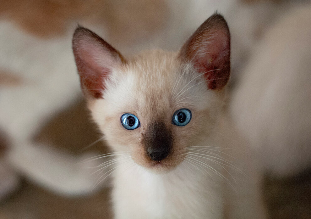 are-siamese-cats-good-pets