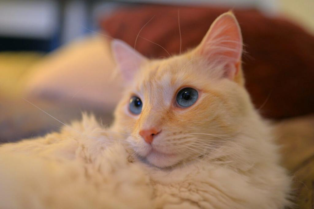 flame-point-siamese-cat-personality