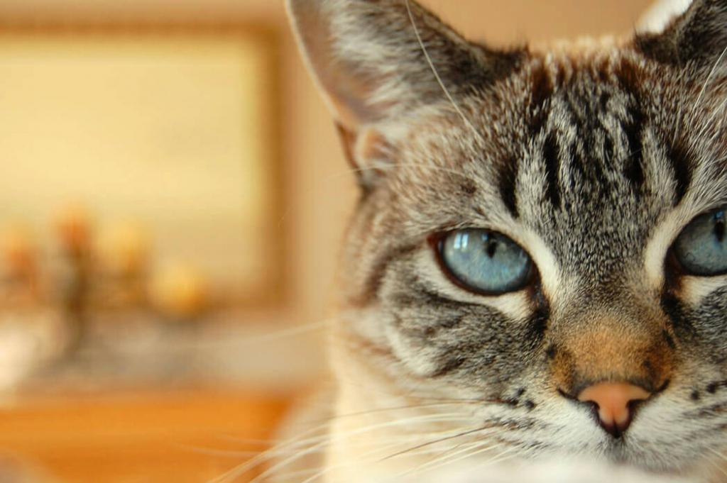 what-is-a-lynx-point-siamese-cat
