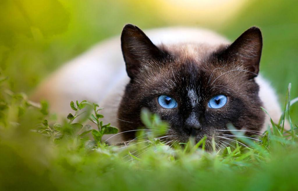 why-do-siamese-cats-bite-so-much