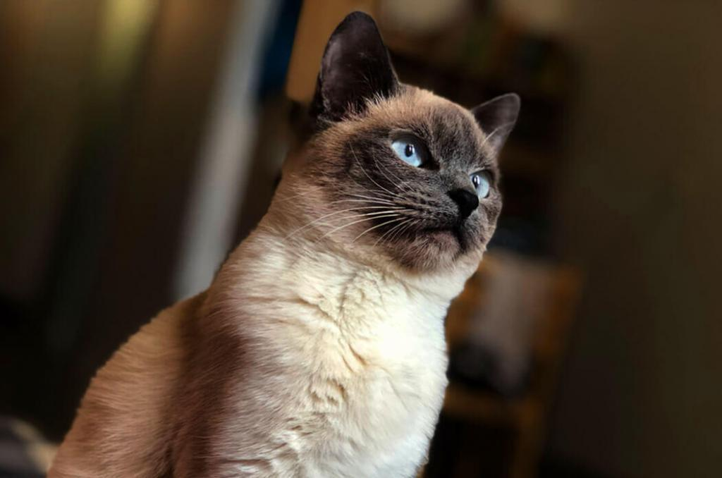 how-much-does-a-siamese-cat-cost