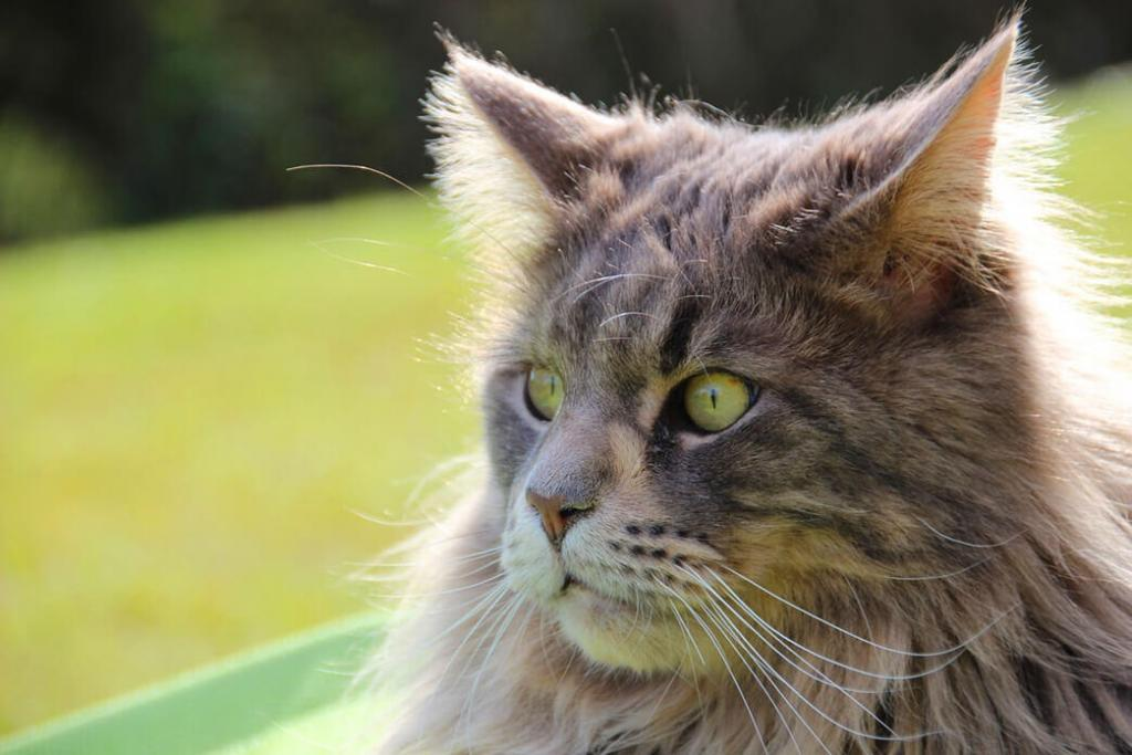 are-maine-coon-cats-aggressive