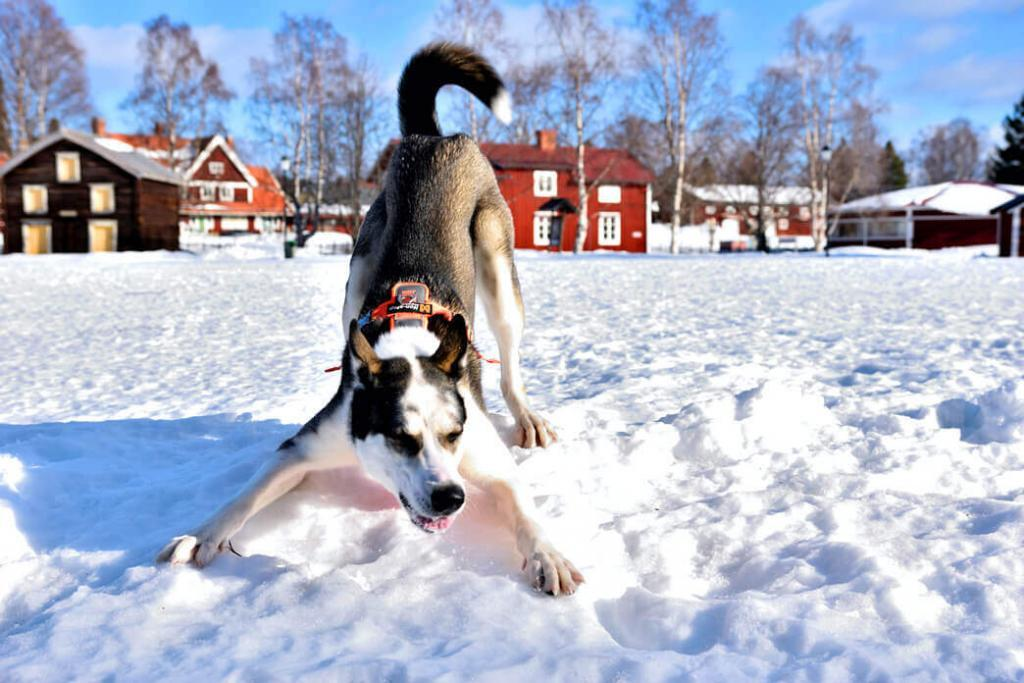 Are Siberian Huskies Color Blind