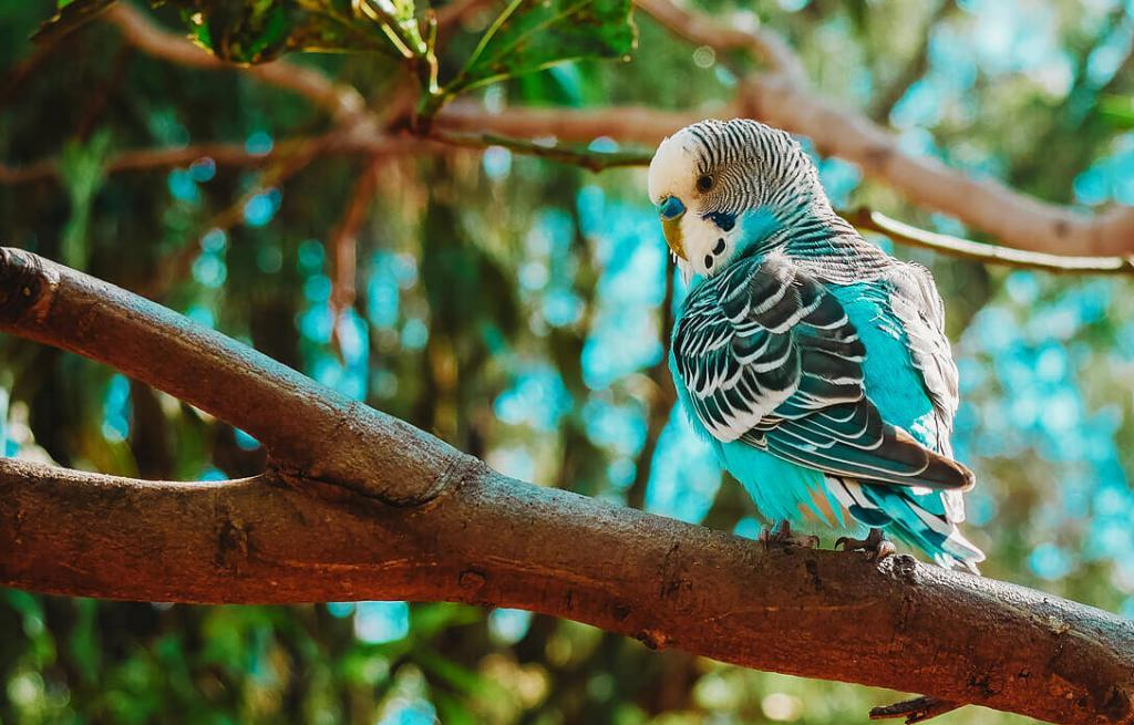 what-do-parakeets-eat