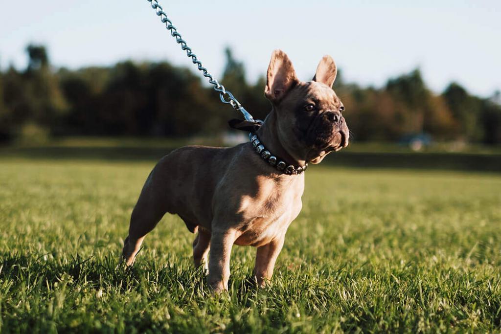 is-an-american-bulldogs-a-pitbulls-1