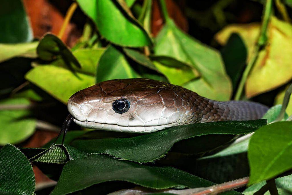 do-black-snakes-eat-copperheads
