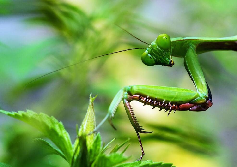 do-praying-mantis-bite