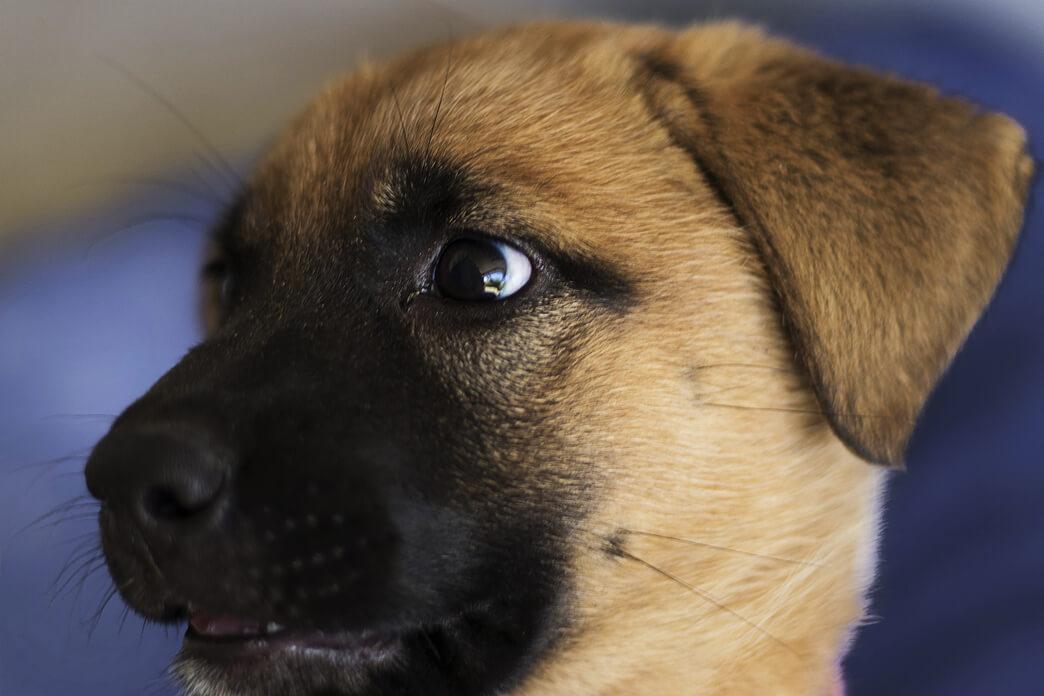 How Much Do German Shepherd Puppies Cost? | PetvBlog