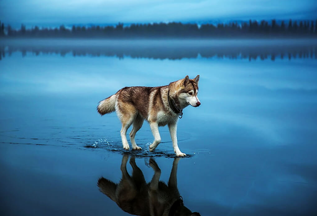 how-much-does-a-husky-cost