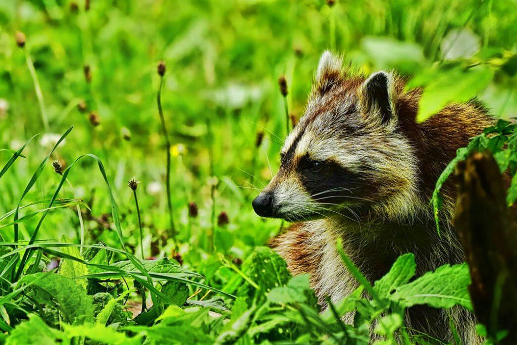 raccoon-climb-trees