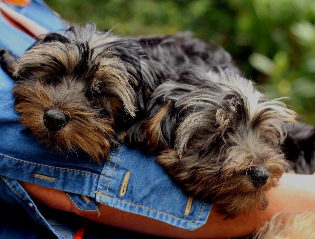 terrier-poodle-mix
